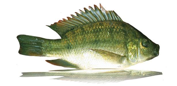 Blue kurper for Blue bass fish
